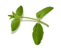 Basil isolated on white background Stock Photography