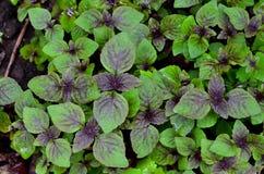 Basil jest purpurowy Zdjęcie Stock