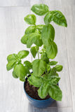 Basil, kitchen herb. In a blue flower pot Stock Photo