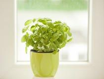 Basil at the kitchen window Stock Photos