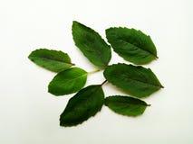 Basil Leaf Lizenzfreies Stockfoto