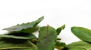 Basil Leaf Lizenzfreie Stockfotos