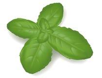 Basil leaf. royalty free illustration