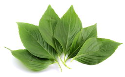 Basil leaf Stock Photos