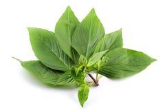 Basil leaf Royalty Free Stock Image