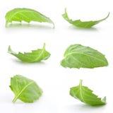 Basil leaf Stock Image