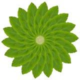 Basil Leaf Arkivbild
