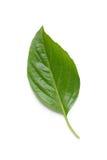 Basil Leaf Fotos de Stock