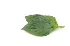 Basil Leaf Fotografia de Stock