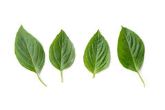 Basil Leaf Imagens de Stock