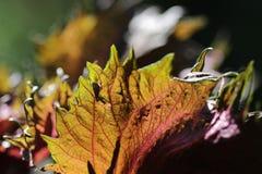 Basil Leaf photographie stock
