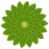 Basil leaf Stock Photography