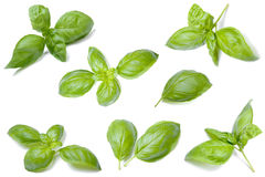 Basil leaf collection Stock Photography