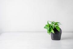 Basil Leaf doce no vaso & no x28; Basilicum Linn& x29 do Ocimum; Imagens de Stock
