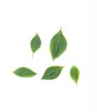 Basil leaf Fresh. Basil leaf Have medicinal properties  Healthy Stock Photography