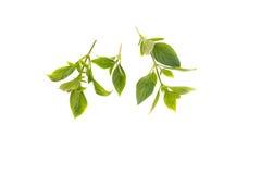 Basil leaf Fresh. Basil leaf Have medicinal properties  Healthy Royalty Free Stock Photos