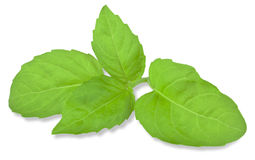 Basil leaf Royalty Free Stock Images