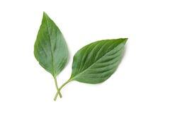 Basil leaf Stock Photos