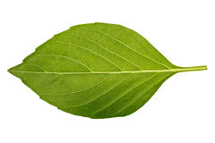 Basil leaf Royalty Free Stock Photography