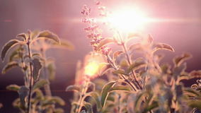 Basil leaf swinging in the wind on sunny sky stock video footage