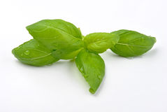 Basil leaf on a white background Royalty Free Stock Photo