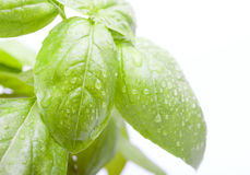 Basil Leafs Stock Image