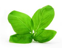 Basil leaves. Basil (Ocimum basilicum), of the Family Lamiaceae. Basil is a tender low-growing herb that is grown as a perennial in warm, tropical climates Royalty Free Stock Image