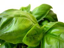 Basil Leaves. Close-up of basil leaves Stock Photos