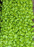 Basil leaves Stock Photos