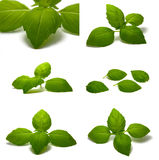 Basil leaves. Collection of basil leaves isolated on white background Royalty Free Stock Photography