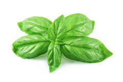 Basil Leaves Royalty Free Stock Image