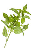 Basil leaves. A closeup view of Basil leaves on a white background Royalty Free Stock Photos
