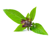 Basil Leaves photos libres de droits