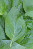 Basil Leaves Photos stock