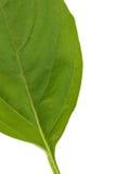 Basil Leaves Imagens de Stock