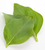 Basil Leaves Fotografia de Stock Royalty Free