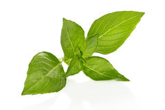 Basil Leaves Images libres de droits