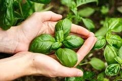 Basil Leaves Photo stock