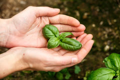 Basil Leaves Image stock