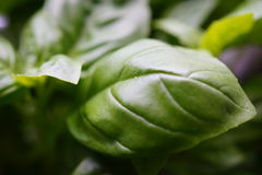 Basil Leaves royaltyfria foton