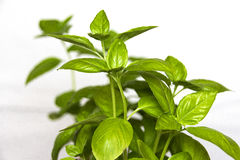 Basil Leaves Stockbild