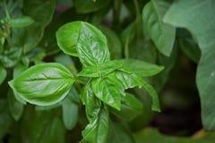 Basil Leaves Fotografía de archivo libre de regalías