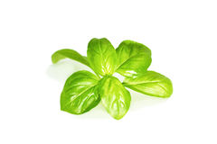 Basil Leaves Imagen de archivo