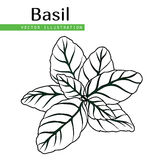 Basil leaves black. Hand drawn isolated  basil leaves on white background.  Herbal Ingredient for traditional cuisine, medicine, treatment, cooking, gardening Stock Images