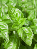 Basil Leaves Closeup Royalty Free Stock Images