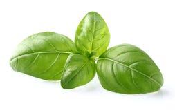 Basil leaves in closeup. Fresh basil leaves in closeup Royalty Free Stock Photo