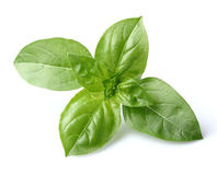 Basil leaves. In closeup on a white background Royalty Free Stock Photos
