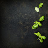 Basil leaves. On darc rustic background. Background layout with free text space Royalty Free Stock Photography