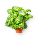 Basil leaves in flower pot. Fresh basil leaves in flower pot isolated on white background. Single object with clipping path. Top view Royalty Free Stock Photography