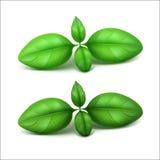 Basil Leaves frais vert sur le fond Photo stock